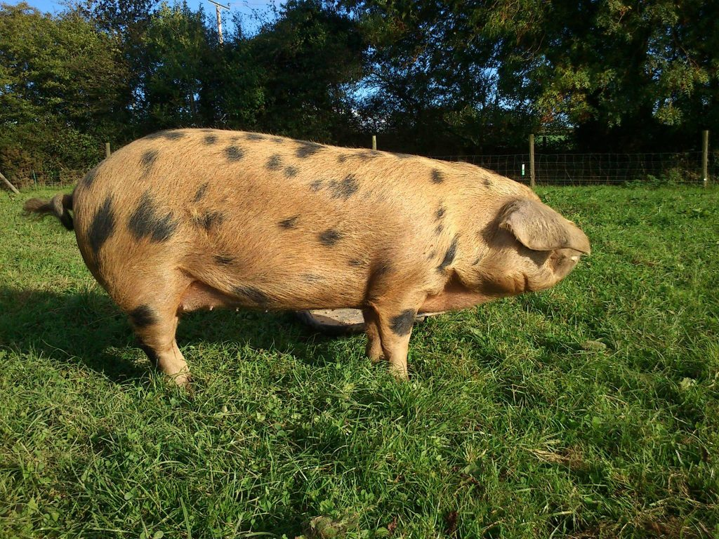 Fully grown OSB Sow