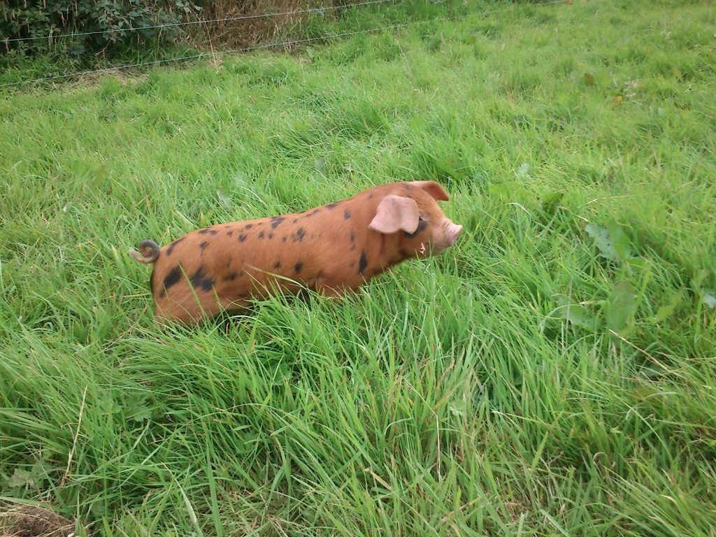 Young OSB piglet grazing