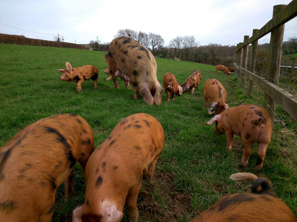 Oxford Sandy and Black sow with her litter